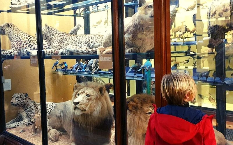 Big cats at the Tring Natural History Museum