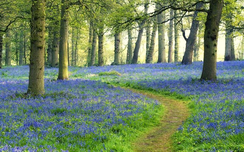 Bluebell woods at Blickling Estate