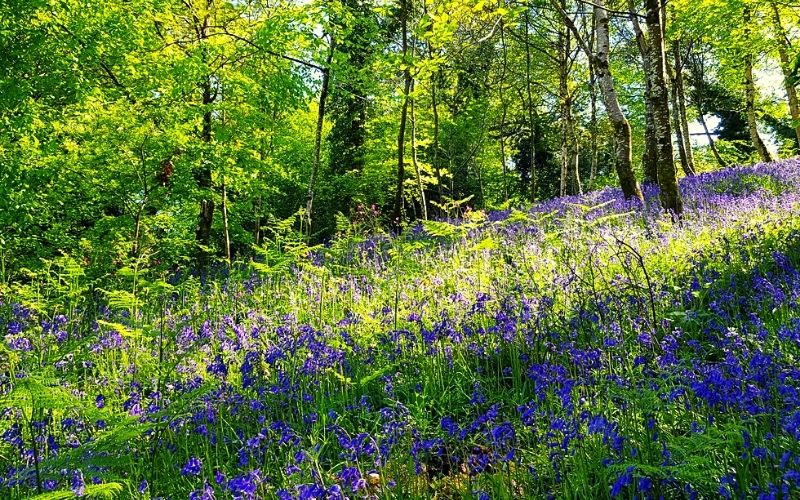 Bluebell woods at the Lost Gardens of Heligan