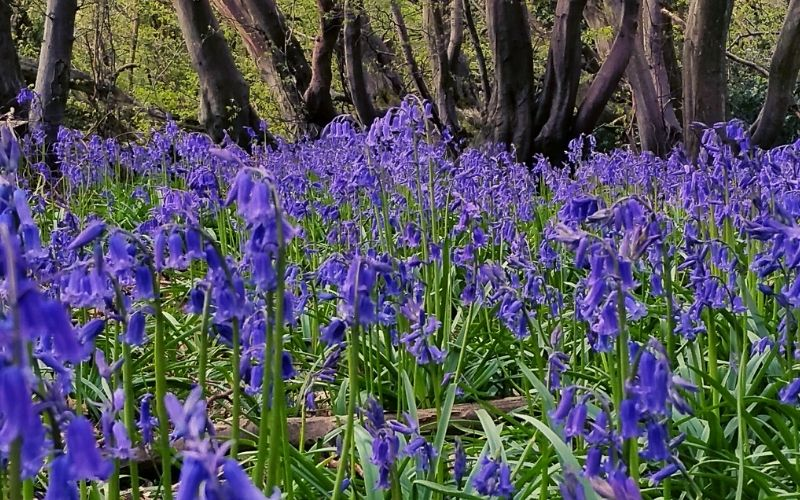 Bluebells at Ashridge Estate