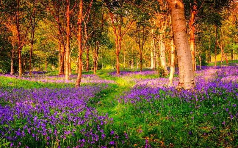 Bluebells at Wakehurst Photo Credit Jim Holden RGB Kew
