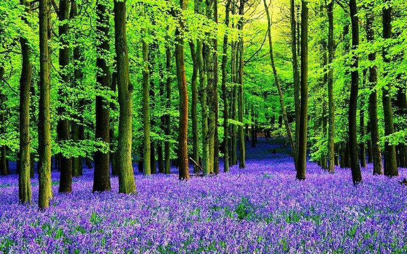 Bluebells woods at Ashridge Estate