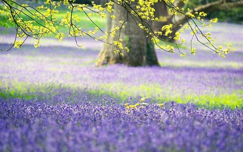 English bluebell woods