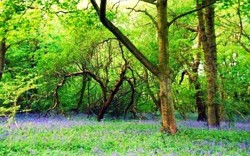 Hackfall Wood bluebells