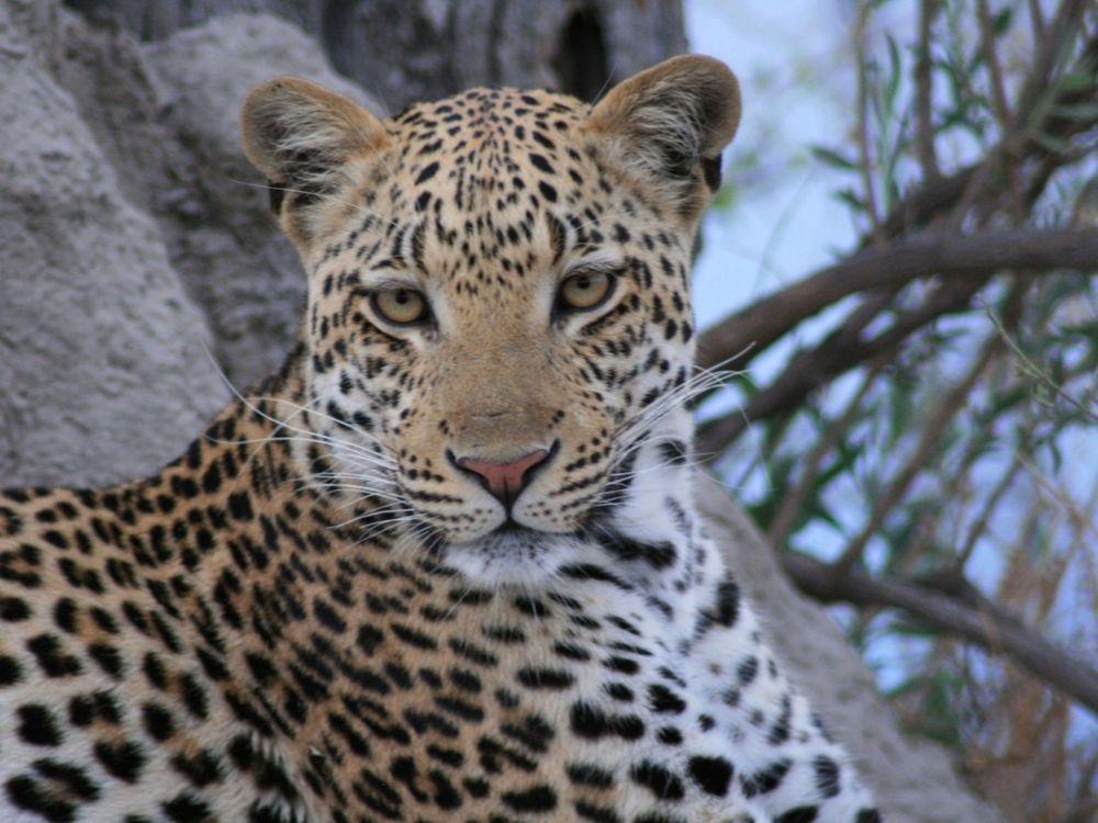 Leopard on safari in Botswana