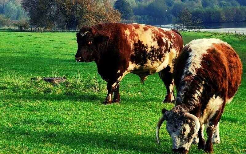 Longhorn Cattle at Panshanger Park