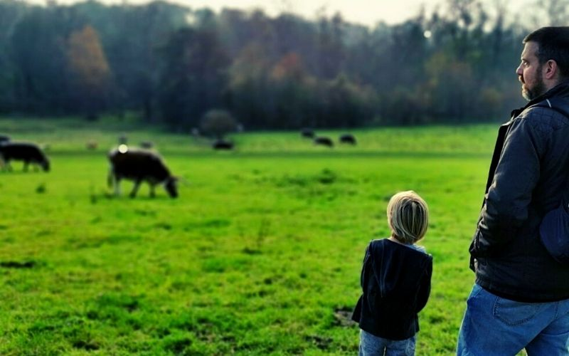 Longhorn Cattle grazing at Panshanger Park