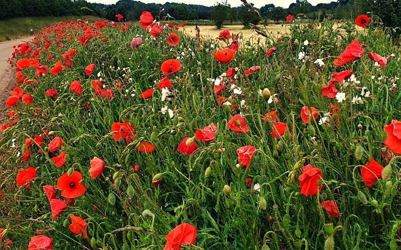 Poppies at Heartwood Forest