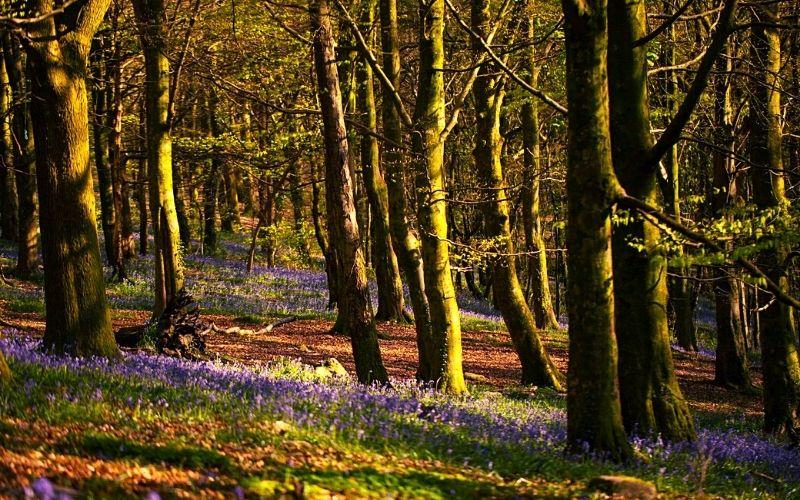 Wenallt Woods bluebells