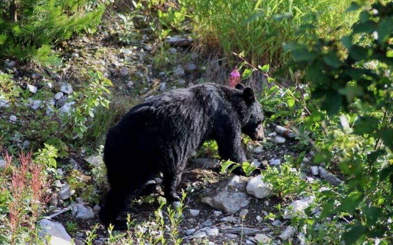 Bears in Jasper National Park
