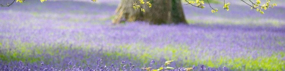 Bluebell woods in Hertfordshire
