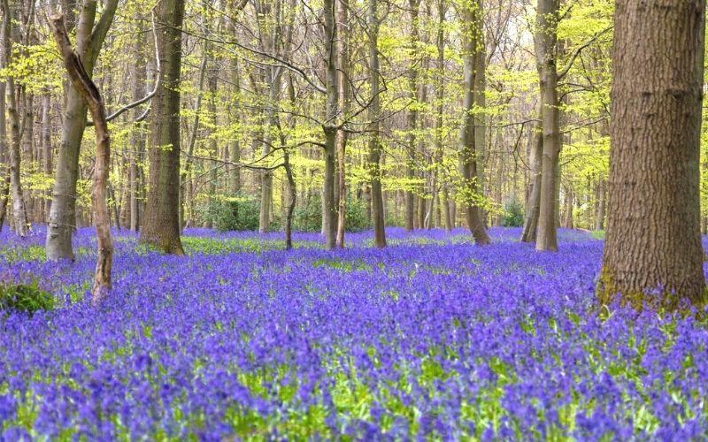 Bluebells in Pryor's Wood