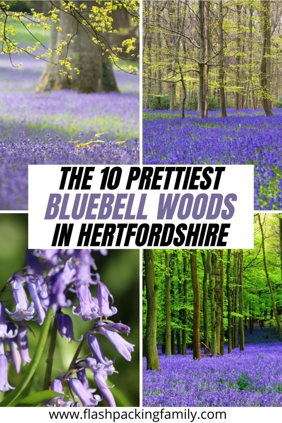 The 10 Prettiest Bluebell Woods in Hertfordshire
