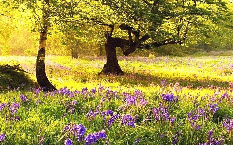 Bluebells at Ashenbank Wood in Kent