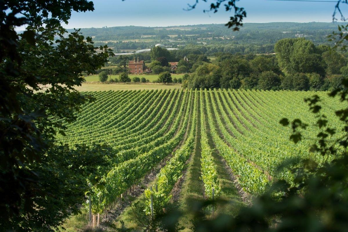 Vines growing at a Kent vineyard.