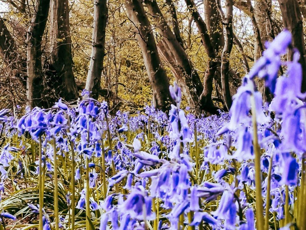 Bluebells in Highgate Woods.