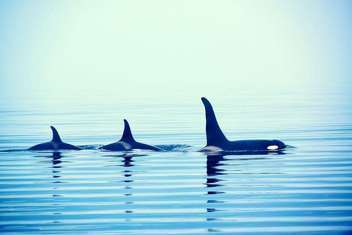 Orca near Vancouver Island.