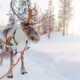 Organise your own Reindeer safari in Finnish Lapland on cheap Lapland holidays.