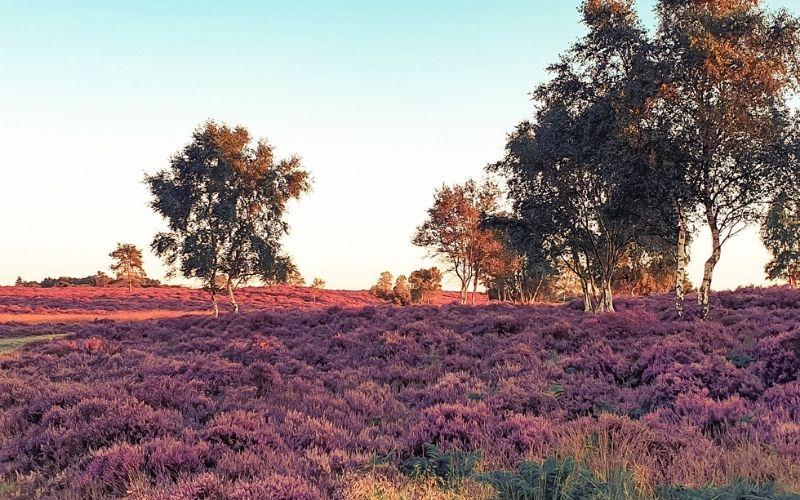 A swathe of purple heather on Dunwich Heath in the summer.