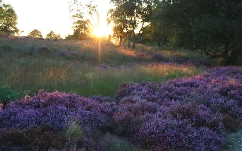 Purple heather at sunset on Dunwich Heath.
