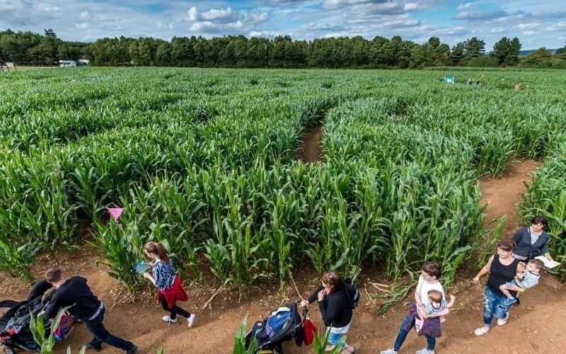 Cotswold Farm Park Maize Maze.