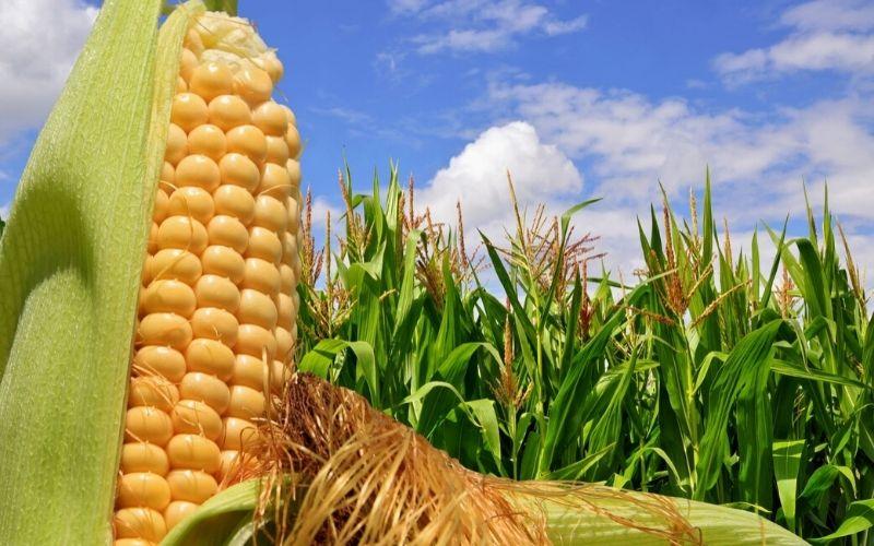 Ear of corn in a corn field.