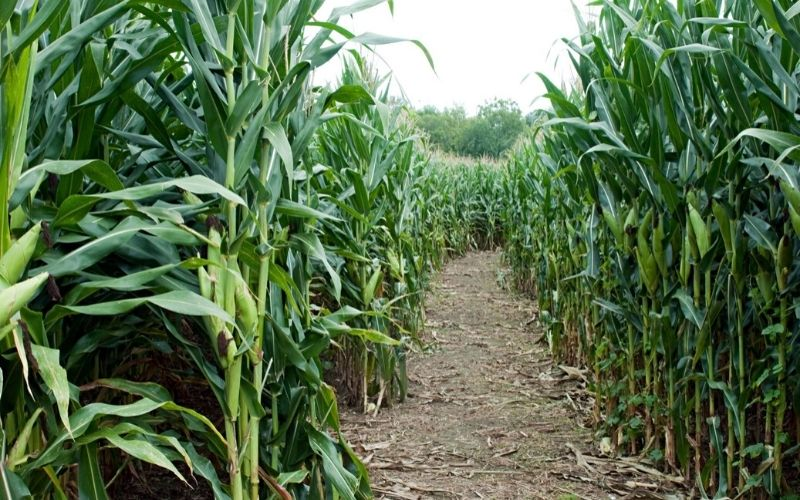 Getting lost in a maize maze