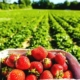 picking strawberries at a pick your own farm.