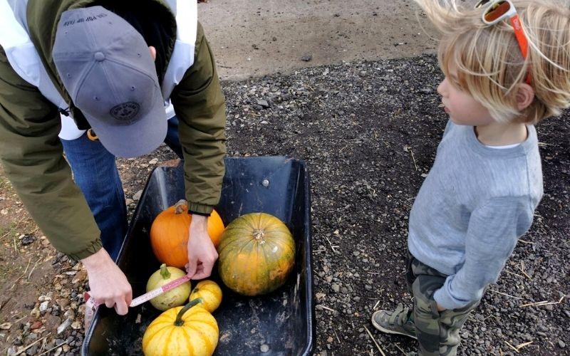 Getting pumpkins measured after picking them at an Essex pumpkin patch.