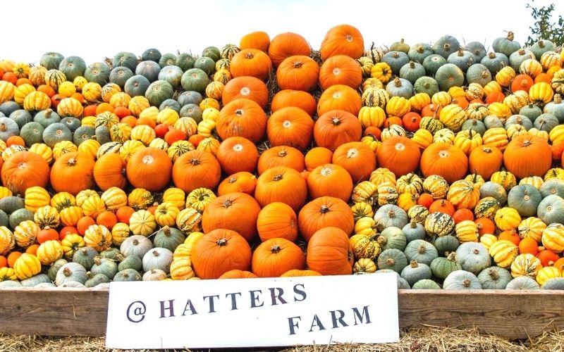 Hatters Farm Pumpkin Patch in Essex