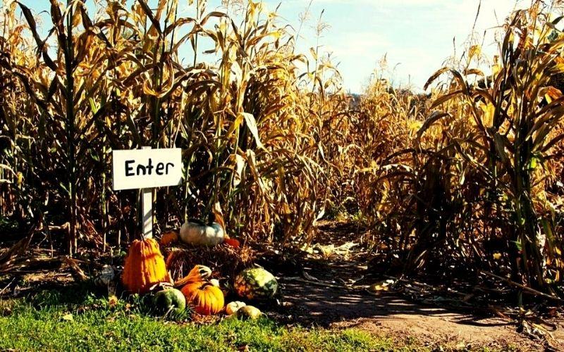 Pumpkin picking and maize maze.
