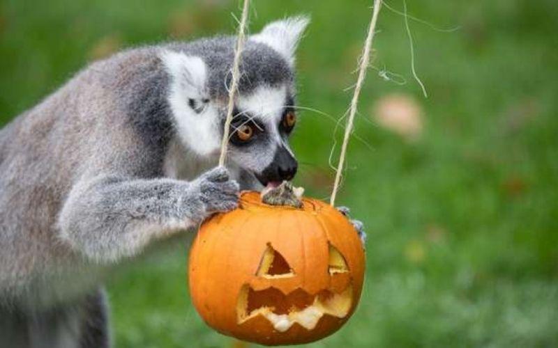 Halloween at Whipsnade Zoo lemur with pumpkin.