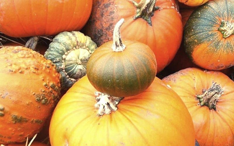 Pile of pumpkins at a PYO Pumpkinn patch in Norfolk.