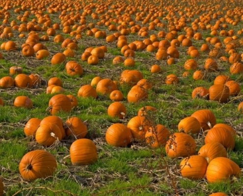 Pumpkin patch in Cambridgeshire with hundreds of pumpkins