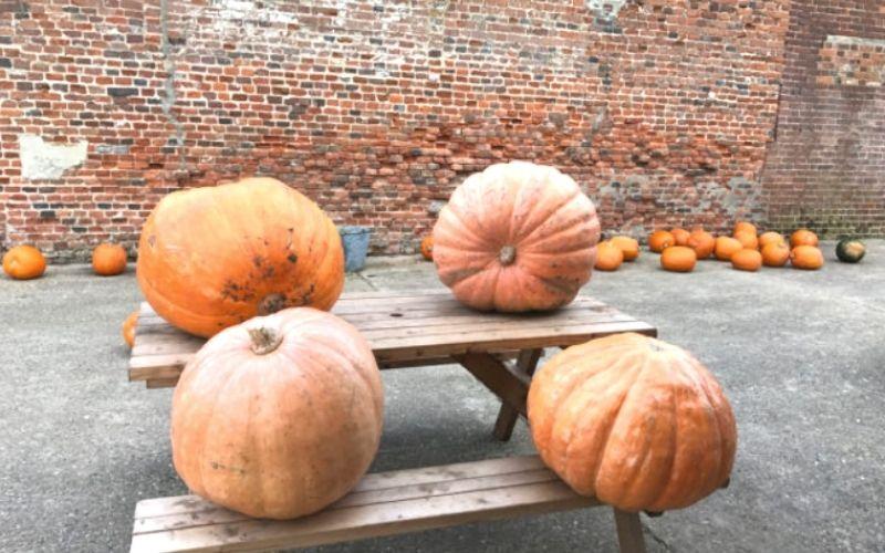Pumpkin picking in Norfolk at White House Farm
