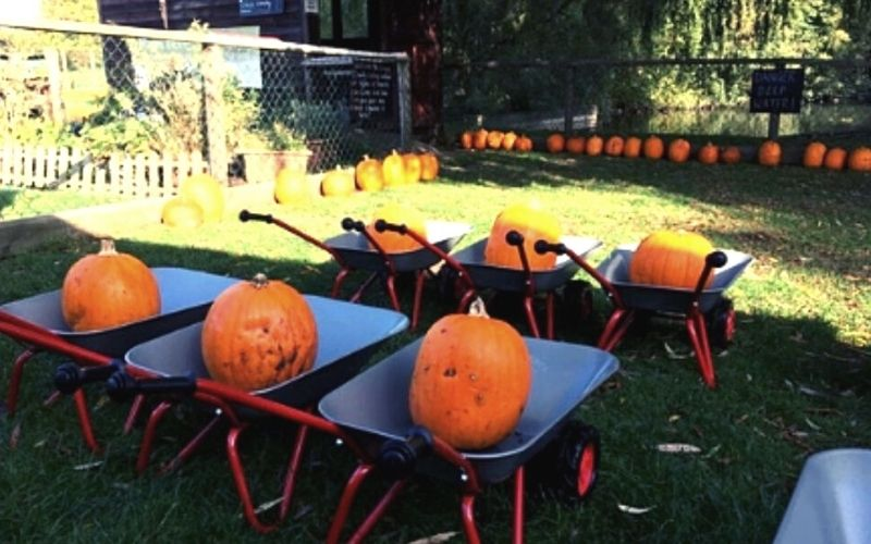 Pumpkins in wheelbarrows at Wroxham Barns.