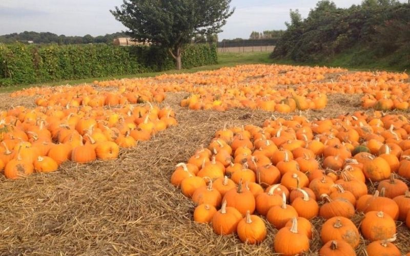 Pumpkins lying in a field at Stanhill Farm in Kent.
