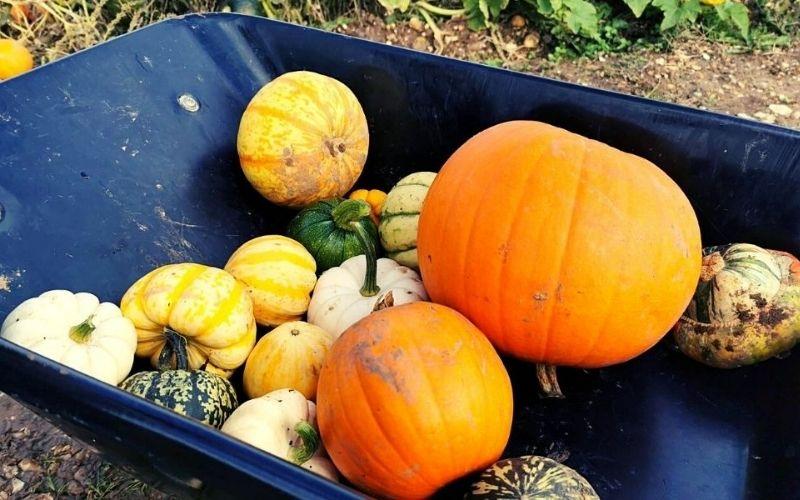 Wheelbarrow full of different sized pumpkins.